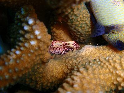 サンゴの中に身を潜めているオオアカホシサンゴガニ