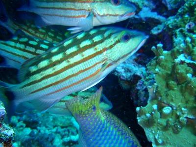 狂乱状態で補色に夢中の魚たち
