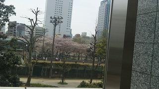 公園の桜の木1週間経って少し葉が出て来たがまだきれい