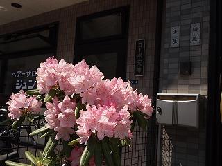 民家の前の小さな花壇で咲くピンクの大輪の花
