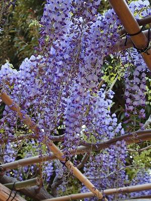 藤棚からあふれるように咲いている藤の花