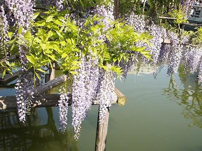 池の上に垂れ下がって美しく咲く藤の花