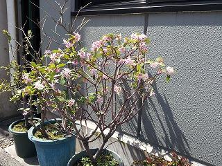 私の好きなジンチョウゲの鉢植え高知ではあまり見なかった