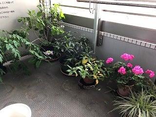ベランダに藤・アジサイ・ゼラニューム等の植木鉢が並んでいる風景