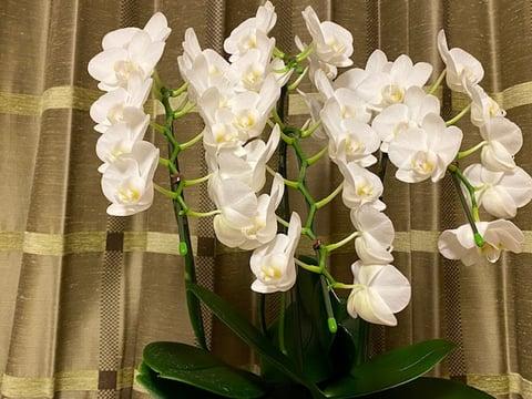 胡蝶蘭の鉢、4本立ての真っ白な花が満開、私の心を癒やしてくれています。