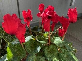 ほぼ満開のシクラメン、華やいだ赤色の花
