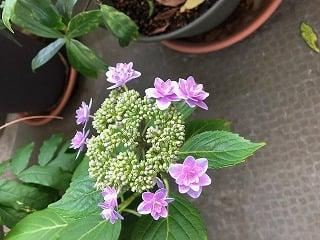 西洋アジサイの咲いているところ。真ん中が緑学の部分がきれいな紫